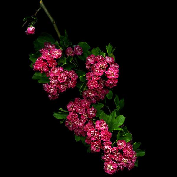 Фото чёрных цветов на белом фоне