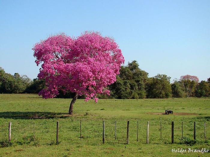 муравьиное дерево фото 2 (700x525, 397Kb)