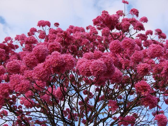 муравьиное дерево фото 10 (700x525, 559Kb)