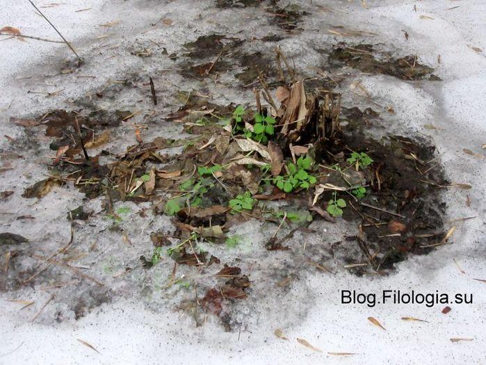 Первые зеленые листочки пробиваются сквозь снег (700x525, 91Kb)