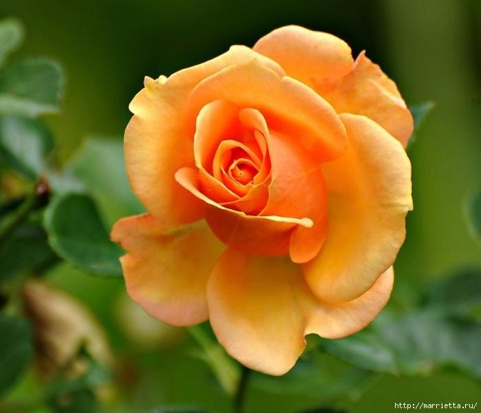 Цветы для вас (60) (700x600, 225Kb)