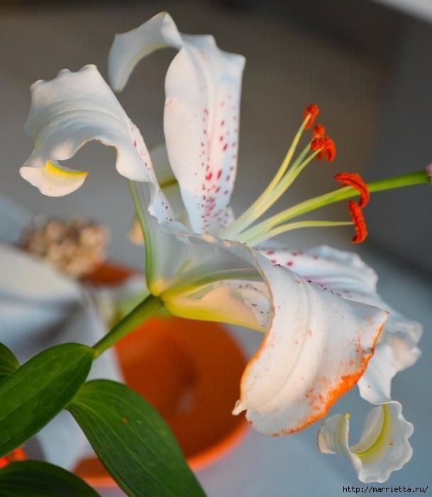 Цветы для вас (62) (609x700, 225Kb)