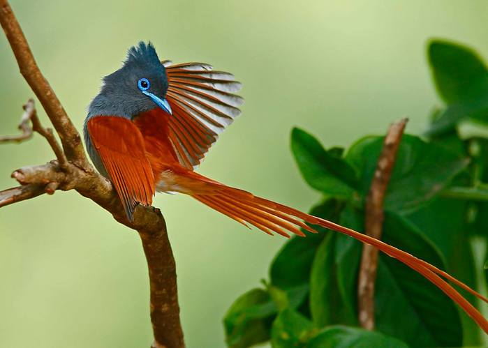 Chris-Krog-Paradise-Flycatcher (700x499, 32Kb)