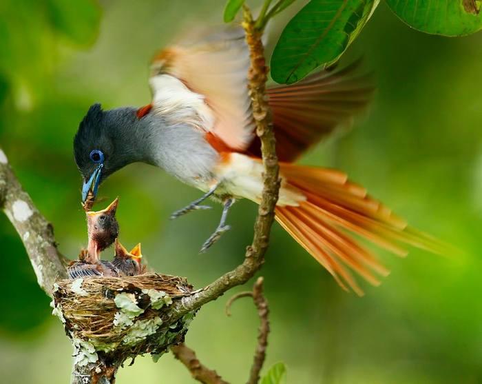 Chris-Krog-African-Paradise-Flycatcher1 (700x557, 42Kb)