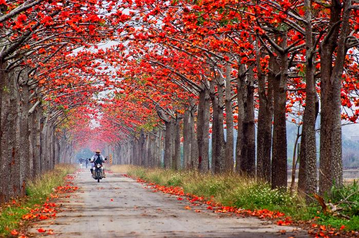 дерево Бомбакс сейба цветы 1 (700x463, 637Kb)
