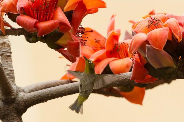 дерево Бомбакс сейба цветы 6 (700x466, 306Kb)