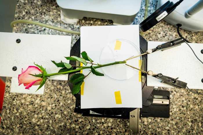 роза (700x467, 42Kb)