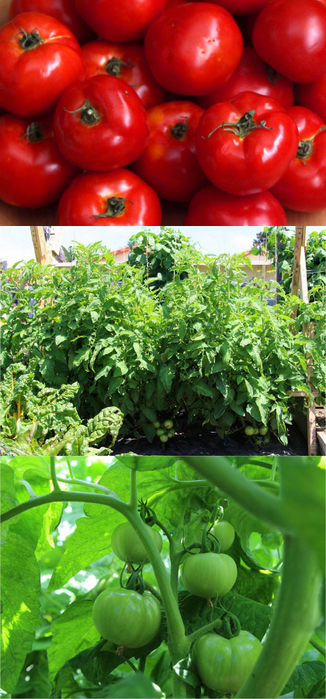grow-tomatoes-5-secrets-apieceofrainbowblog-3 (326x700, 358Kb)