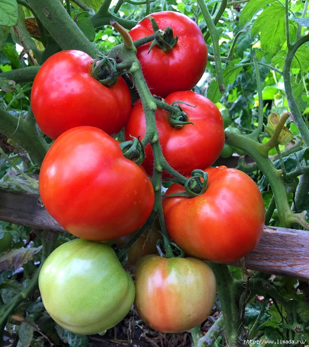 grow-tomatoes-5-secrets-apieceofrainbowblog-6 (623x700, 377Kb)