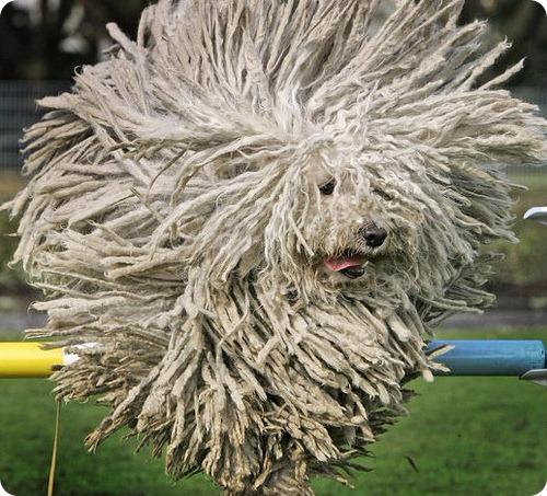 Собака Комондор или Венгерская овчарка2 (500x453, 297Kb)