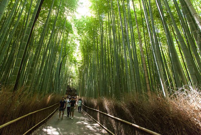бамбуковый лес в киото 1 (700x471, 619Kb)