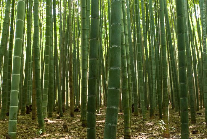 бамбуковый лес в киото 3 (700x471, 501Kb)