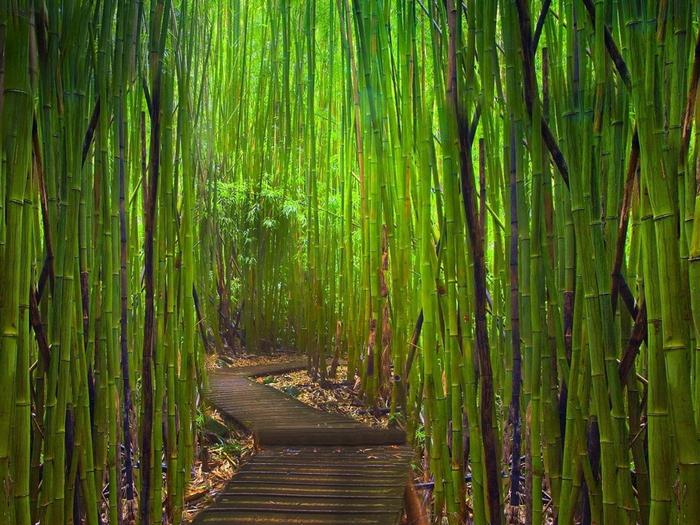 бамбуковый лес в киото 7 (700x525, 513Kb)