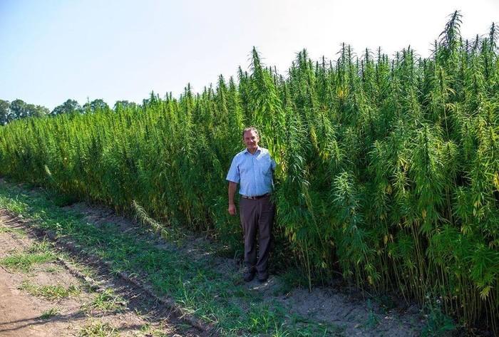 На Украине больных собираются лечить марихуаной (700x473, 138Kb)