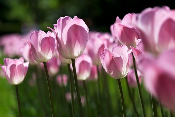 1490041484_pink_tulips34 (700x467, 36Kb)