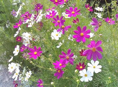 цветок космея (400x295, 106Kb)