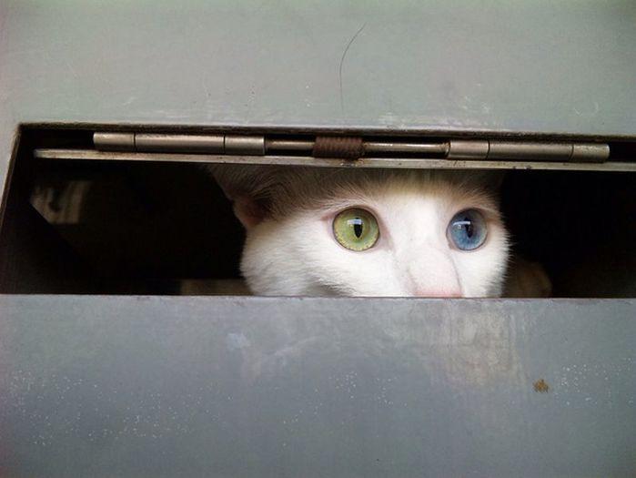 Heterochromia01 Разноглазые кошки/4897960_Heterochromia01 (700x525, 32Kb)