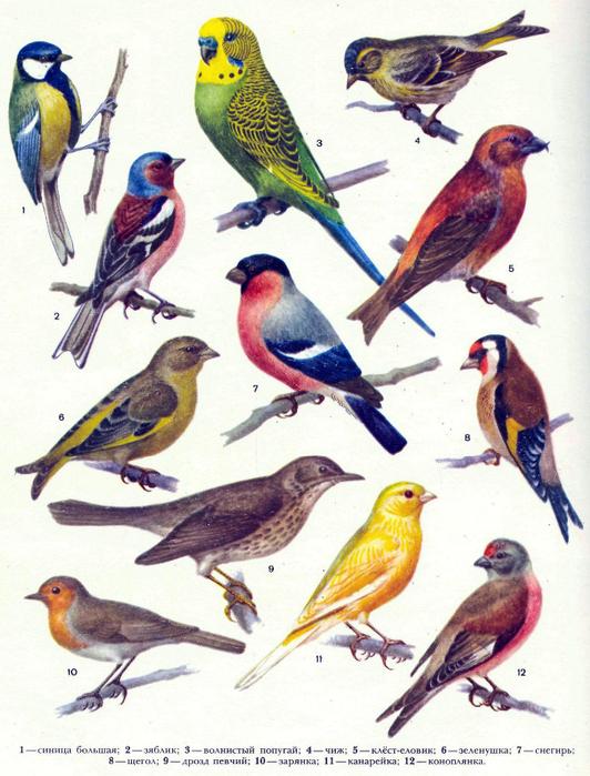 птицы насекомоядные (532x700, 421Kb)