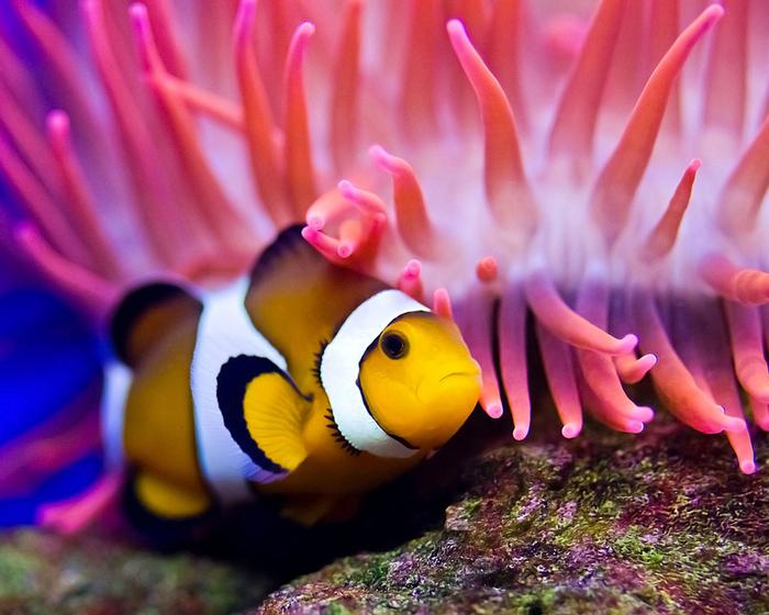 962 Clownfish (1) (700x560, 329Kb)