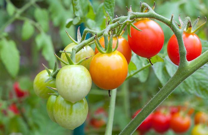 4027137_tomato696x454 (696x454, 100Kb)