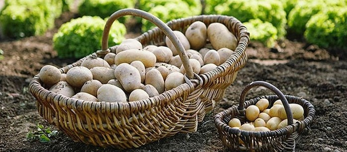 Семь способов вырастить вкусную картошку
