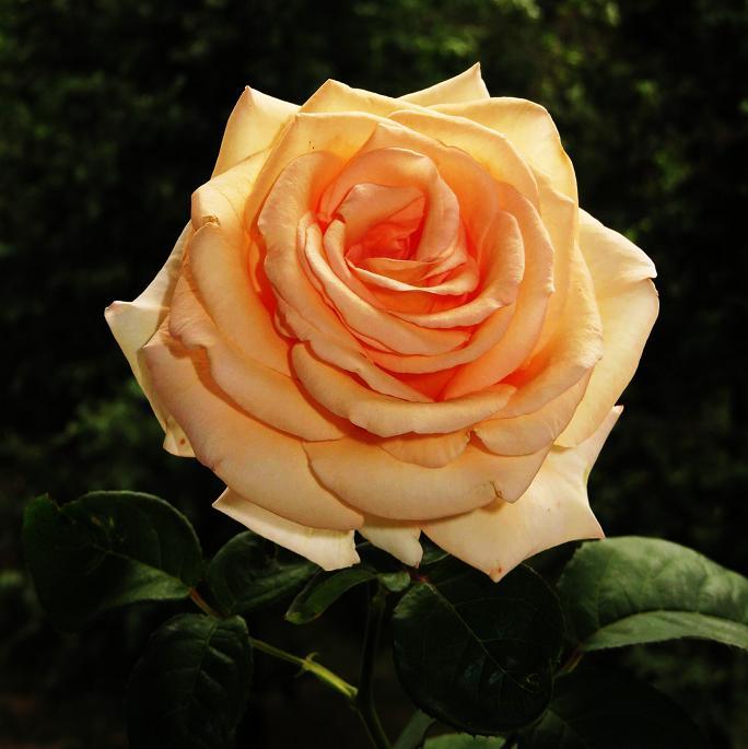 розы от ЛЭ.130786093_05 (684x685, 272Kb)