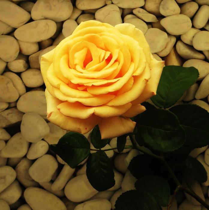 розы от ЛЭ.130475869_03 (697x699, 340Kb)