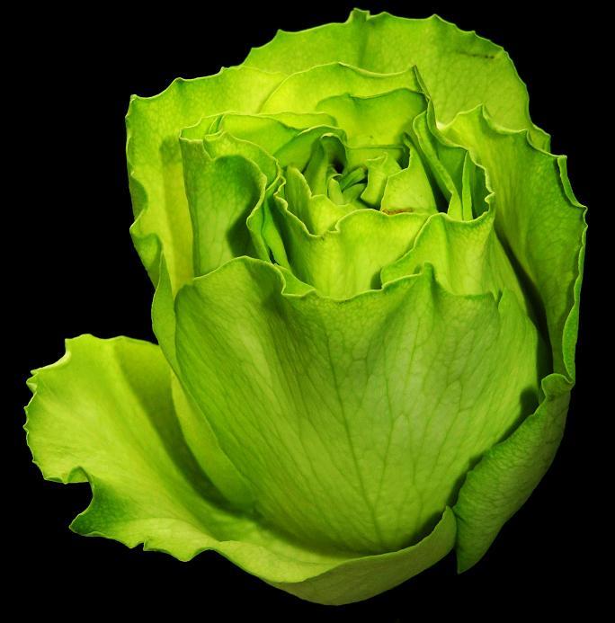 розы от ЛЭ.130475848_02 (684x693, 287Kb)