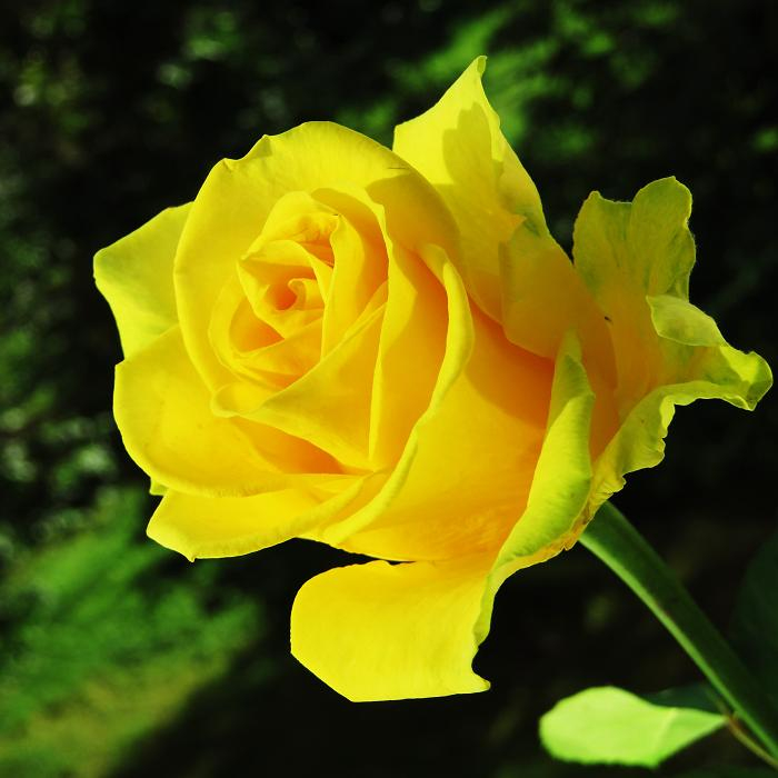 розы от ЛЭ.130323953_02 (700x700, 293Kb)