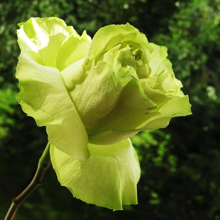 розы от ЛЭ.130196477_06 (700x700, 297Kb)