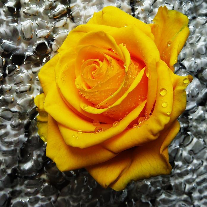 розы от ЛЭ.129252333_010 (697x697, 431Kb)
