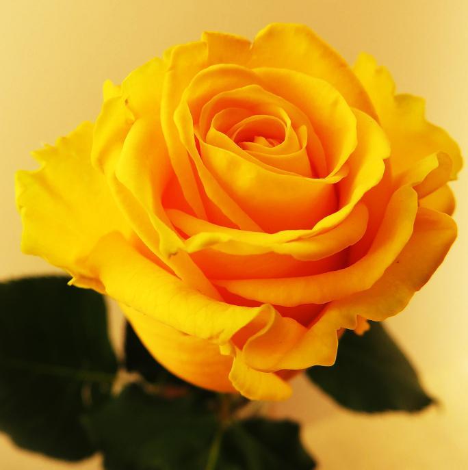 розы от ЛЭ.129209559_012 (684x687, 264Kb)
