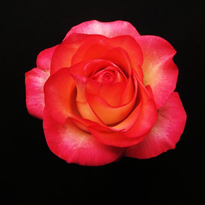 розы от ЛЭ.128137411_04 (697x696, 190Kb)