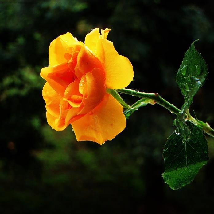 розы от ЛЭ.124891446_024 (697x700, 270Kb)
