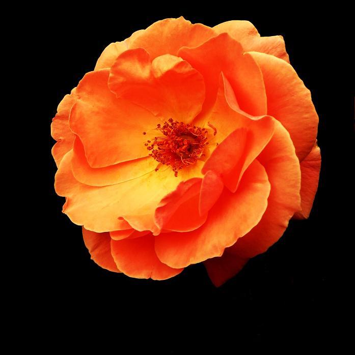 розы от ЛЭ.124497826_014 (697x698, 235Kb)
