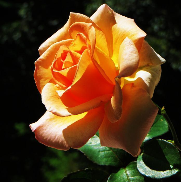 розы от ЛЭ.124369186_014 (697x700, 312Kb)