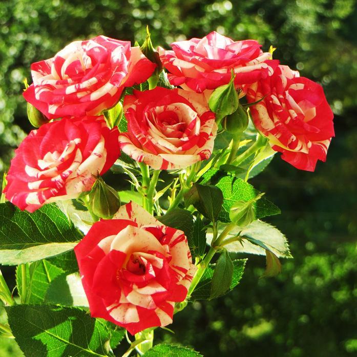 розы от ЛЭ.124078070_016 (697x697, 538Kb)