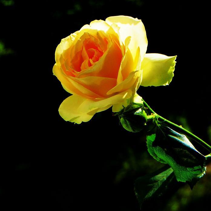 розы от ЛЭ.124057731_021 (697x697, 216Kb)