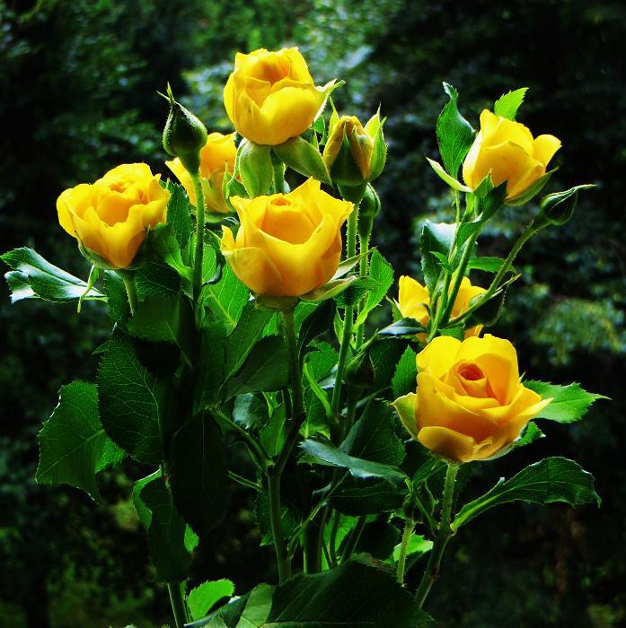 розы от ЛЭ.124002210_02 (697x700, 497Kb)