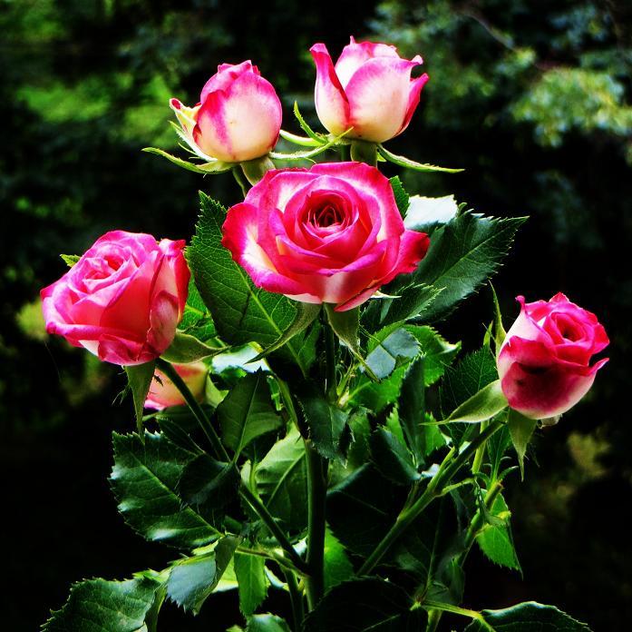 розы от ЛЭ.123895967_02 (697x696, 487Kb)
