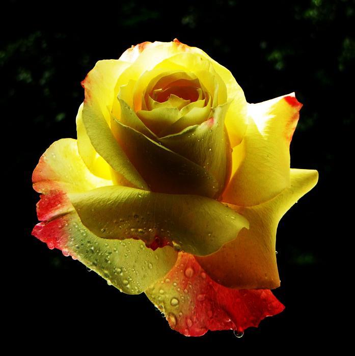 розы от ЛЭ.123839750_07 (697x699, 263Kb)