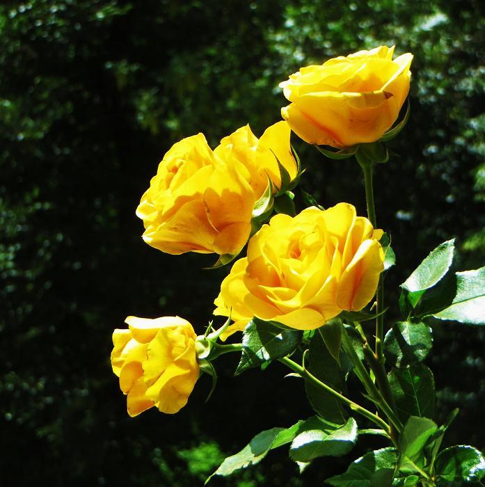 розы от ЛЭ.123780039_06 (697x700, 401Kb)