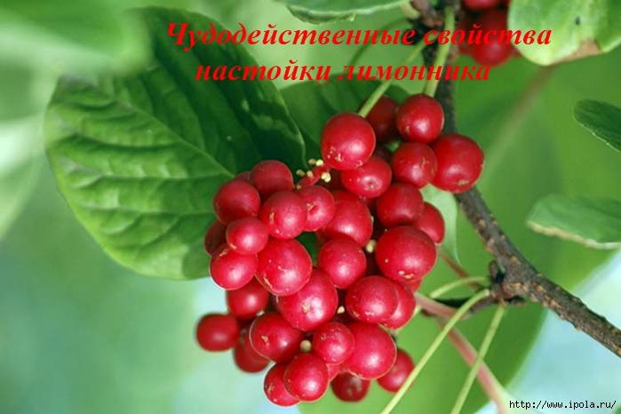 "alt=""Чудодейственные свойства настойки лимонника""/2835299_Chydodeistvennie_svoistva_nastoiki_limonnika (700x466, 209Kb)"