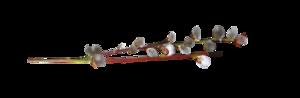 ветки вербы (300x98, 12Kb)