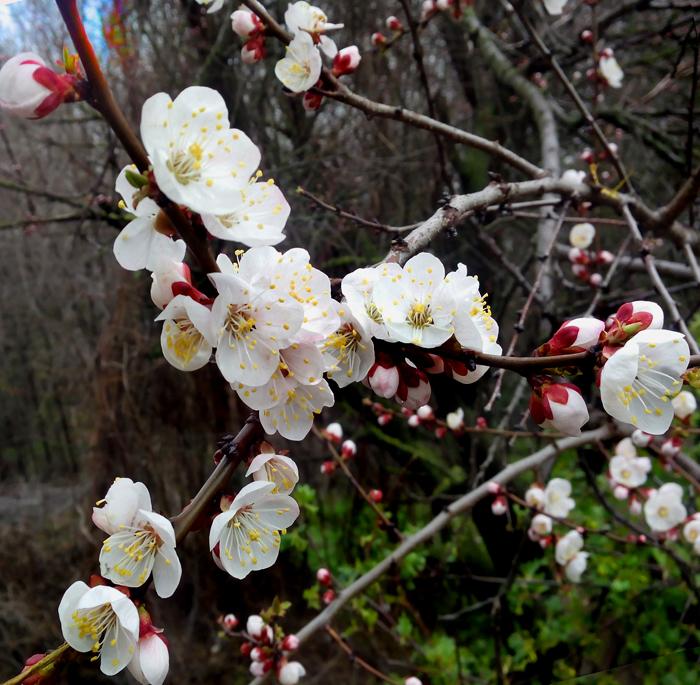 цветут жердёлы/683232_i_nachalos (700x685, 413Kb)