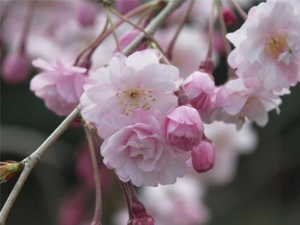 sakura_024 (600x450, 211Kb)