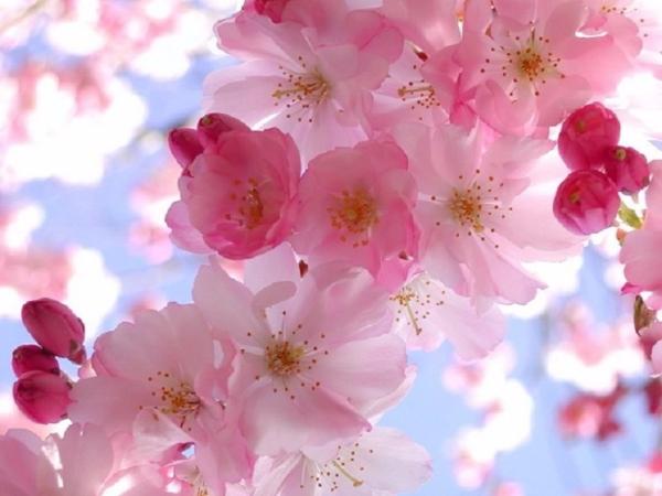 spring-blossom-wallpaper__yvt2 (600x450, 256Kb)