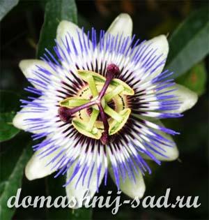3937385_passifloracaerulea1 (300x315, 20Kb)