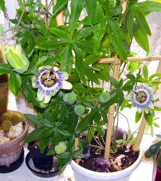 3937385_Passiflora_caerulea_1 (621x700, 211Kb)