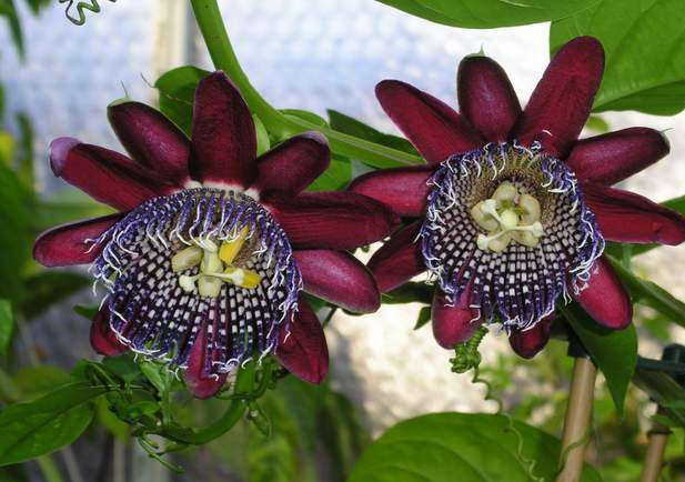 3937385_passiflora5_cr (617x434, 42Kb)